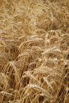 Graphic Grain in Field